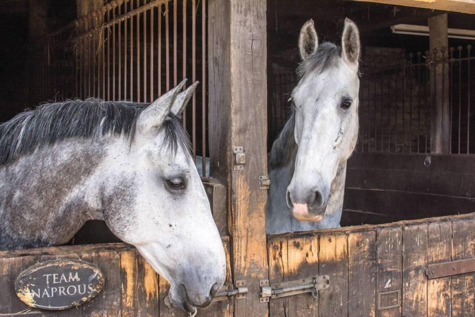 Horse strangles risk